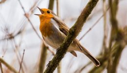 Robin Singing (1)