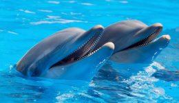 dolphin-pair