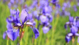 Iris-Meadow-flower-76336_1920 (1)
