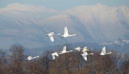 the-wild-swans-2525050_1920 (1)