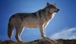wolf-142173_1920 (1)