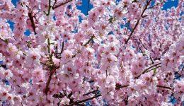 japanese-cherry-trees-2168858_1920 (1)