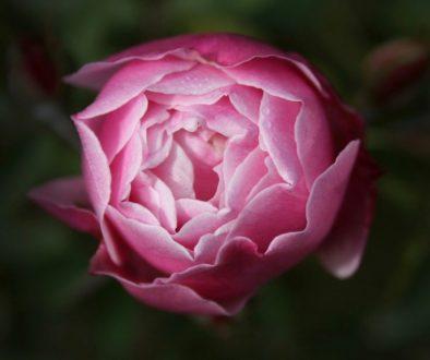 rose-1082542_1920 (1)