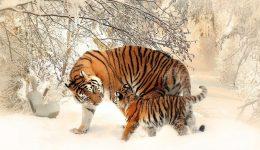 tiger-591359_1920 (1)