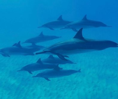 dolphins-788176_1920