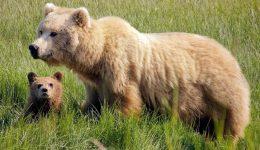 brown-bears-931657_1280 (1)