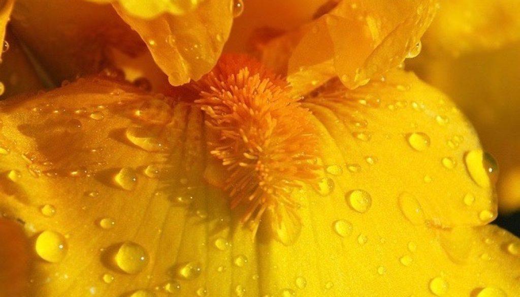 Yellow_Iris (1)