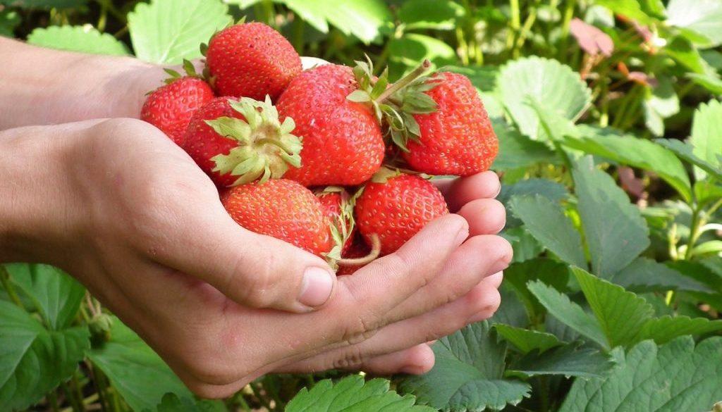 Strawberry-Hands (2)