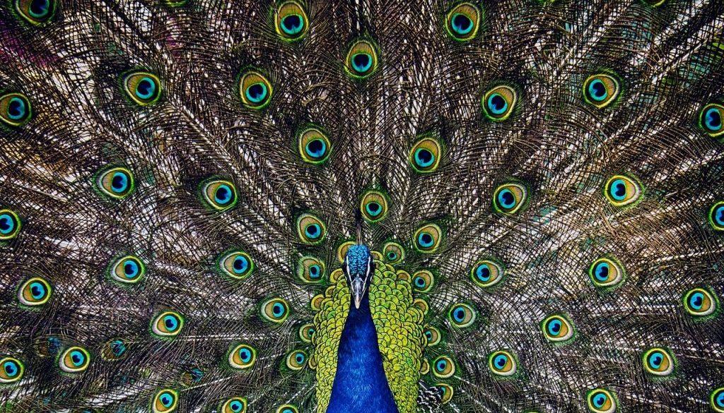 peacock-2534367_1920 (1)