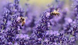 lavender-1537694_1920 (1)