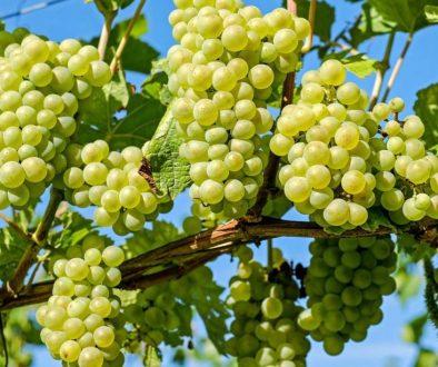 grapes-2656259_1920 (1)